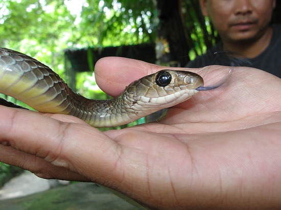 A brownish colored Indo-Chinese Rat Snake (Ptyas korros) from Southern Thailand.