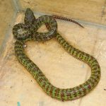 Beautiful Viper or Brown Spotted Green Viper.