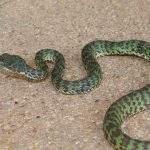 Beautiful Viper - Trimeresurus venustus