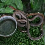 Bronzeback Snake - cannot remember which type