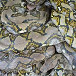 Reticulated python - Malayopython reticulatus. Very strong and large snakes which can be a danger to humans, pets, and just about any animal smaller than an elephant.