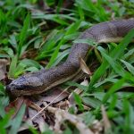 Puff Faced Water Snake - Homalopsis buccata