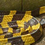 Banded Krait - Bungarus fasciatus - Deadly