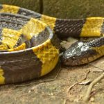 Banded Krait - Bungarus fasciatus - deadly, active at night.