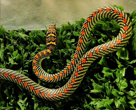 Chrysopelea paradisi, the paradise tree snake, or paradise flying tree snake from Southern Thailand.