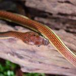Bronzeback snake.