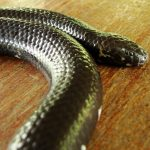 Red Tailed Pipe Snake - harmless, great snake to introduce to kids.