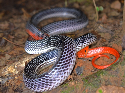 Red-headed krait peaking underneath the tail.
