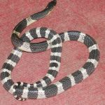 Malayan Krait - deadly.
