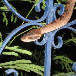 Malayan Pit Viper on fence - Calloselasma rhodostoma.