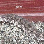 Mangrove Pit Viper - my favorite viper
