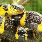 Mangrove Cat Snake - slightly venomous