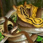 Copperheaded Racers and Indo-Chinese Rat Snakes - harmless.