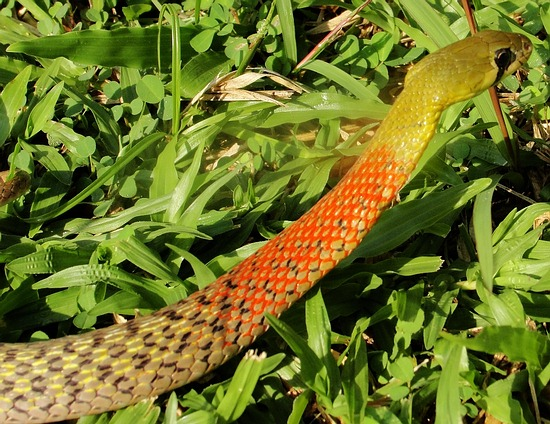 Red necked keelback (Rhabdophis subminiatus) is now classified as a deadly venomous snake.