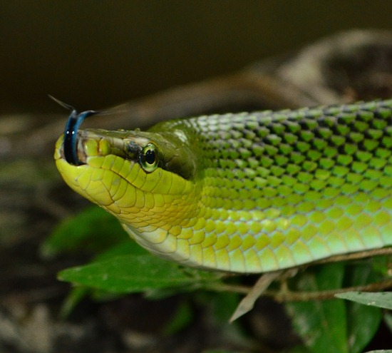 Red Tailed Racer – Non-Venomous – Not Dangerous