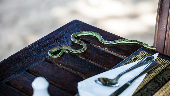 Golden Tree Snake - non-venomous snake in Thailand on a lunch table.