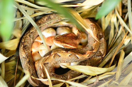 Malayan pit viper with eggs