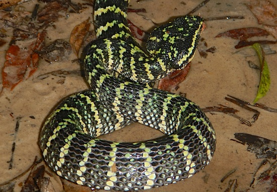 Triangle Head - Female Wagler's Pit Viper