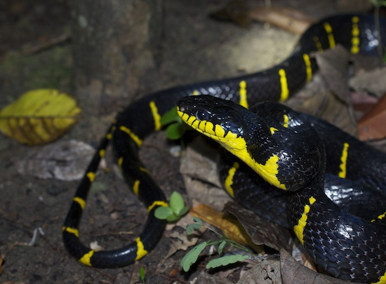 Boiga dendrophila. Mangrove cat-eyed snake. Southern Thailand.