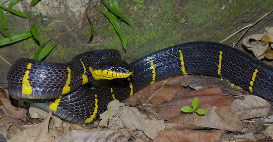 Boiga dendrophila. Mangrove cat-eyed snake.