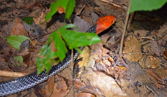 A deadly Thailand snake, the red-headed krait (Bungarus flaviceps). These are extremely rare.