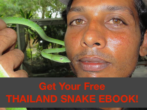 Free informational ebook - Common Thailand Snakes. Helps you identify common venomous and non-venomous snakes found in Thailand.