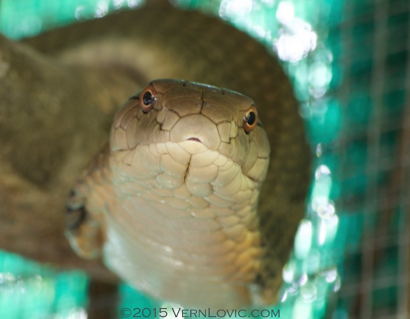 Thailand King Cobra, Ophiophagus hannah, is the world's largest venomous snake, and is found across most of Southeast Asia, including this one found in Thailand.