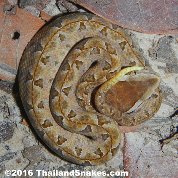 Juvenile (neonate) Malayan Pit Viper with white-tipped tail.