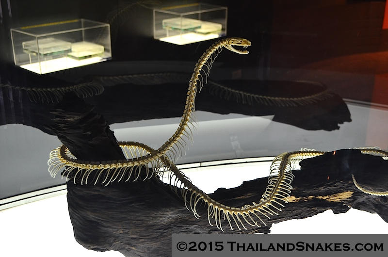 King cobra full skeleton from Thailand. Ophiophagus hannah.