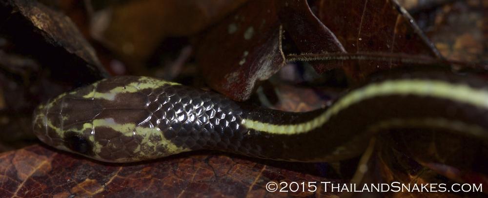 Close-up of Dryocalamus subannulatus, the Malayan bridle snake.