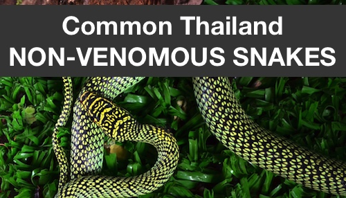 Page of some of Thailand's most common non-venomous, harmless snakes.