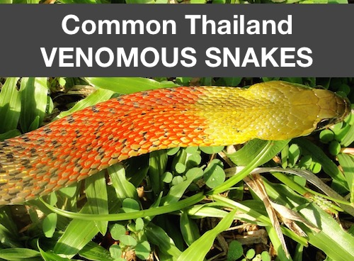 The most common of Thailand's venomous snakes including cobra, keelback, and Malayan pit viper.