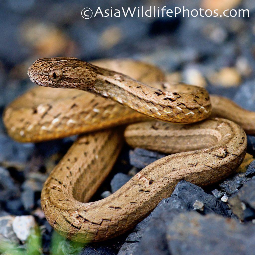 Mock Viper - Southern Thialand - P. pulverulentus.