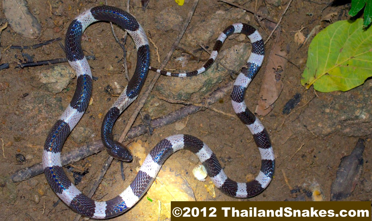Malayan Krait (Blue Krait) from Thailand. Bungarus candidus. Common, dangerous, deadly, and size is usually about 1 meter long.