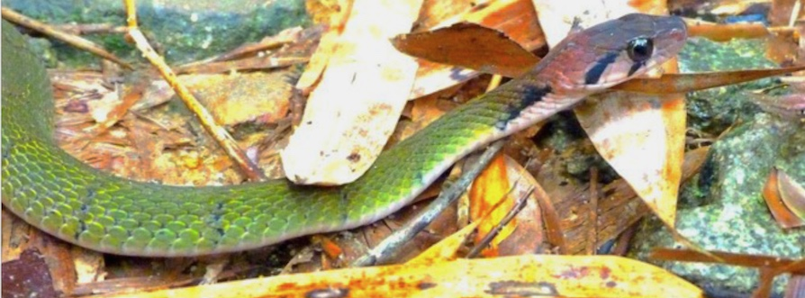 Rhabdophis nigrocinctus, Thailand. This is a venomous and poisonous snake with nuchal glands.