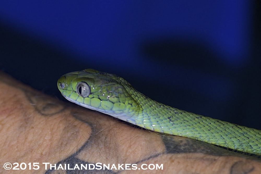 Close-up shot of Boiga cyanea, a green cat-eyed snake held by herper in Southern Thailand province of Krabi.
