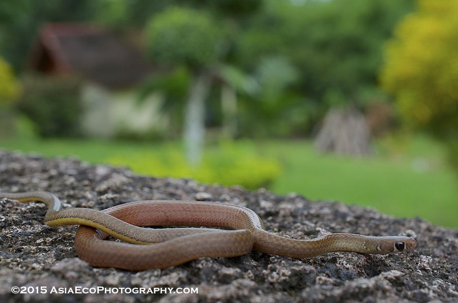 Found at 100m altitude, this lovely snake was as calm as it was beautiful. Called the Orange-belllied snake.