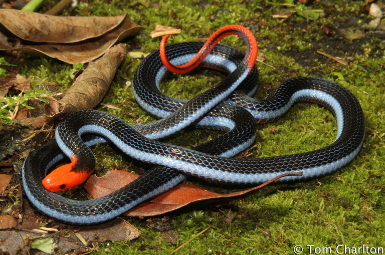 Deadly snake, Calliophis bivurgatis flaviceps - blue Malaysian coral snake
