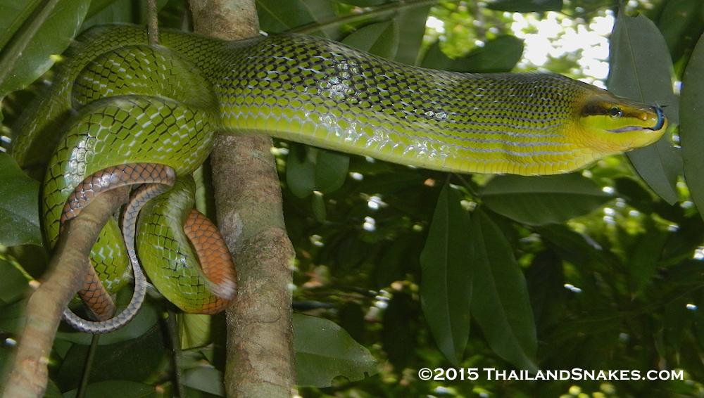 Common red-tailed racer snake (Gonyosoma oxycephalum) from Krabi province, Thailand.