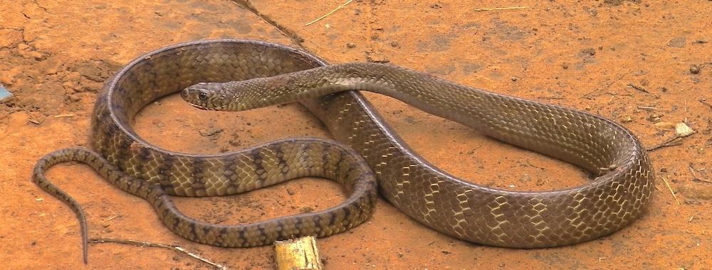 The oriental rat snake (Ptyas mucosus) can reach 3.7 meters in length and is non-venomous.