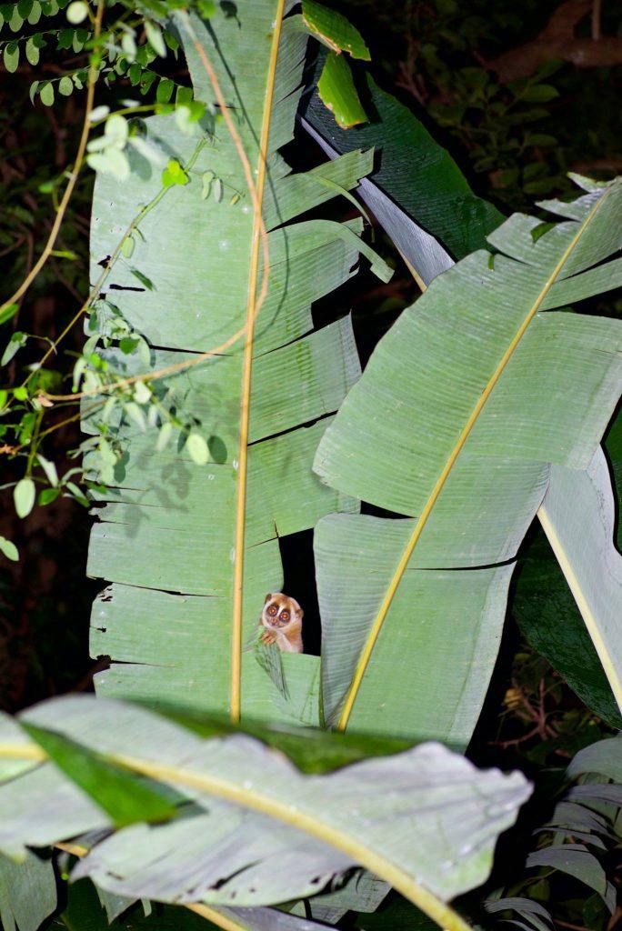Slow Loris in Banana Tree!