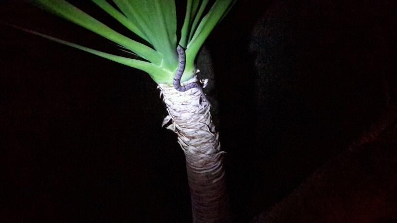 Who knew kukri snakes climbed palms?