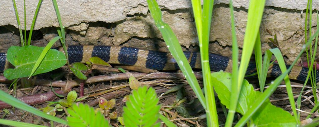 Banded krait - deadly - creeping along a wall in someone's yard.