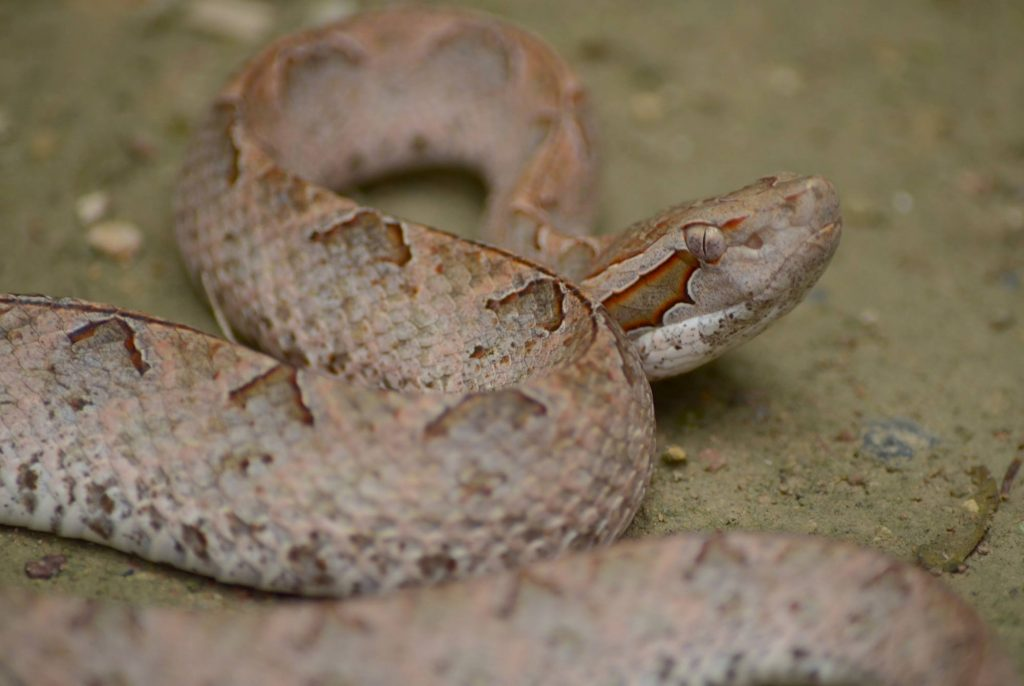Malayan Pit Viper - deadly and very common on the ground at night. Use a torch (flashlight)!