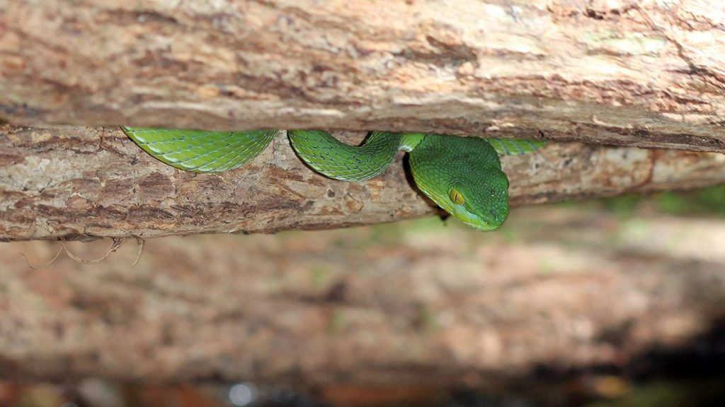 Green pit viper, likely not deadly - but severe complications can result after envenomation.