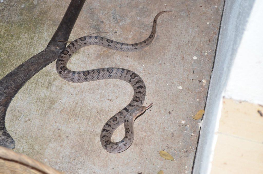 Kukri snake - harmless, but big rear teeth for cracking eggs.
