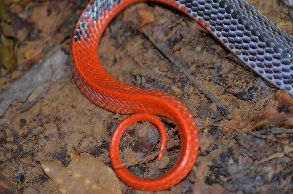 Tail of red-headed krait (Bungarus flaviceps)