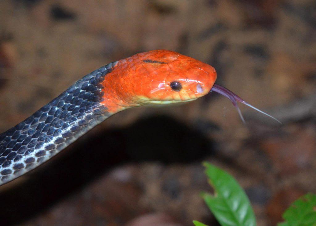 Black body, reddish orange head and purple tongue. Wish I had my better camera for this!