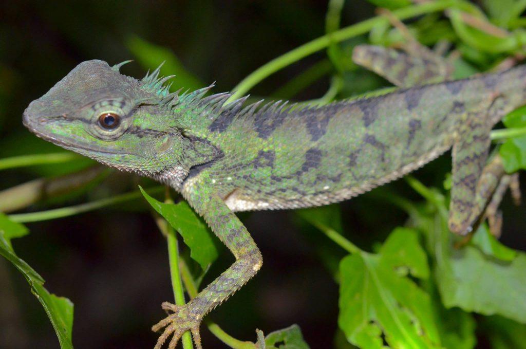 Calotes emma - mountain lizard, in Krabi, Thailand.