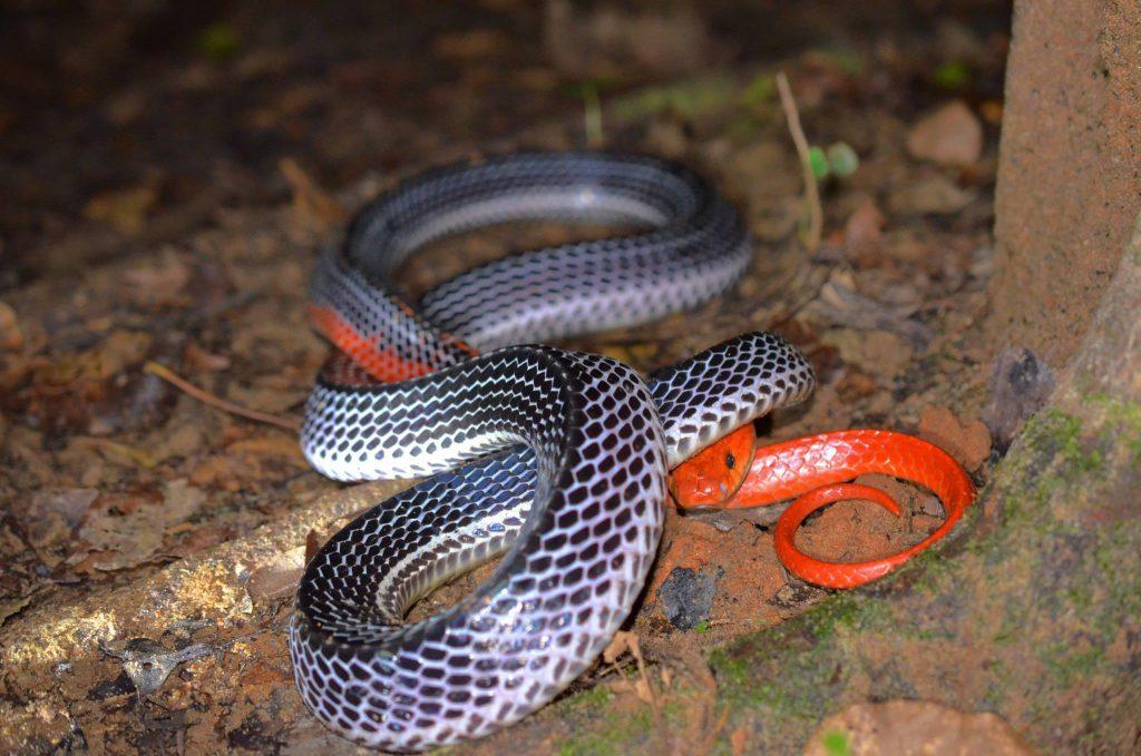Full body shot - red-headed krait found in deep Trang rainforest.